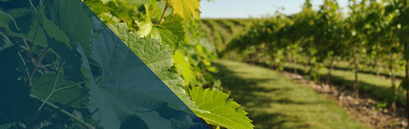 rows of grape vines